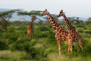reticulated giraffes, unique to Samburu, are our favourites.