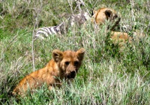 Lion cubs guard their kill.