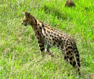 The serval stays intent on his hunt, ignoring us completely.