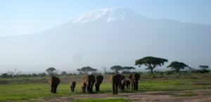 Elephants in the shadow of Mount Kilimanjaro.