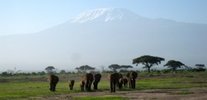 Elephants in the shadow of Mount Kilimanjaro.
