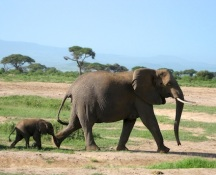 A bay elephant is dwarfed by its mother.